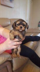 Shorkie boy puppy from a stunning litter of 8