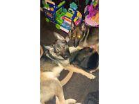 GSD X Akita pups ready in 1 week