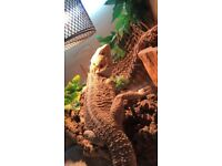 2 year old Male Bearded Dragon