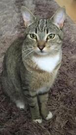 MISSING TABBY CAT