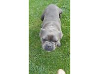 Kc reg french bulldog female