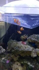 clown fish, marine