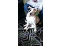 9 month old staffy male for sale