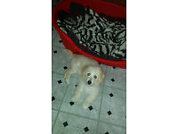 Bichonaranian Puppy Needs a new home