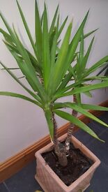 Yucca Tree Houseplant - Approx 3.5 foot tall - Healthy and looks great! Comes in large ceramic pot