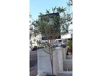 Olive Tree in bronze glazed pot 1.8M Tall