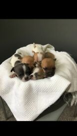 tea cup Chihuahua puppies | in North West London, London | Gumtree