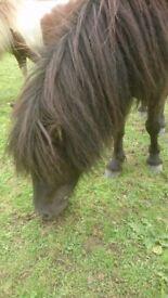 Shetland ponies (no mares)