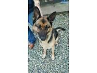 German Shepherd 2yr old