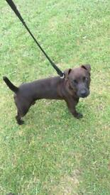 10 month male patterdale terrier