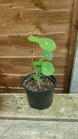 Trailing edible nasturtium plant