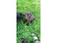 Labrador puppies for sale ready to go to their forever home