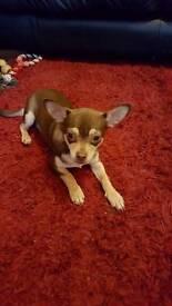male chihuaua dog