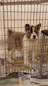 Kc reg american akita female puppy