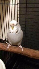Found budgie Wavertree liverpool if you think this baby is yours please get intouch