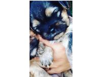 Shitzu and Yorkshire Terrier Pups for sale 4 boys
