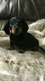 Beautiful kc Reg miniature dachshund smooth haired black & tan girl puppy