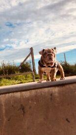Bulldog 10 weeks old