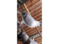 Afghan pigeons for sale.