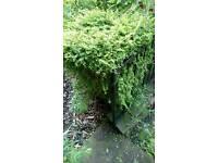 Box hedge plant