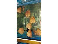 Discus fish 25£