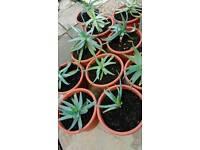 Aloe Vera medical plants