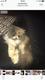 Persian cat female looking for loving home
