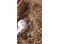 Free pet mice