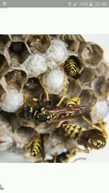 wasps nests treated