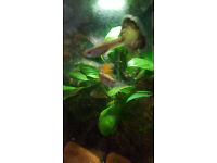 FANTAIL GUPPIES FOR SALE
