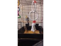 Cockatiel with cage and toys