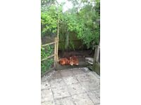 5 Laying hens 2yrs old