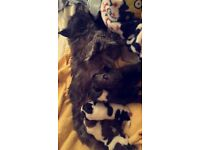 Pomeranian x pups