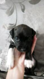 Girl staffy pup