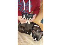 Boston terrier puppy's