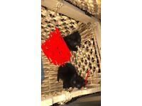Black kittens 1 girl 1 boy