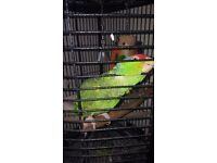 Amazon parrot and corner cage