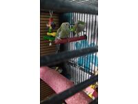 qwaker parrot and a roserborke parrot in cage