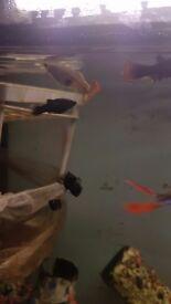 Beautiful Black Molly fish