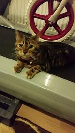 Pure Female bengal kitten around 16 weeks old selling with extras bargain