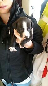 Staffy puppie