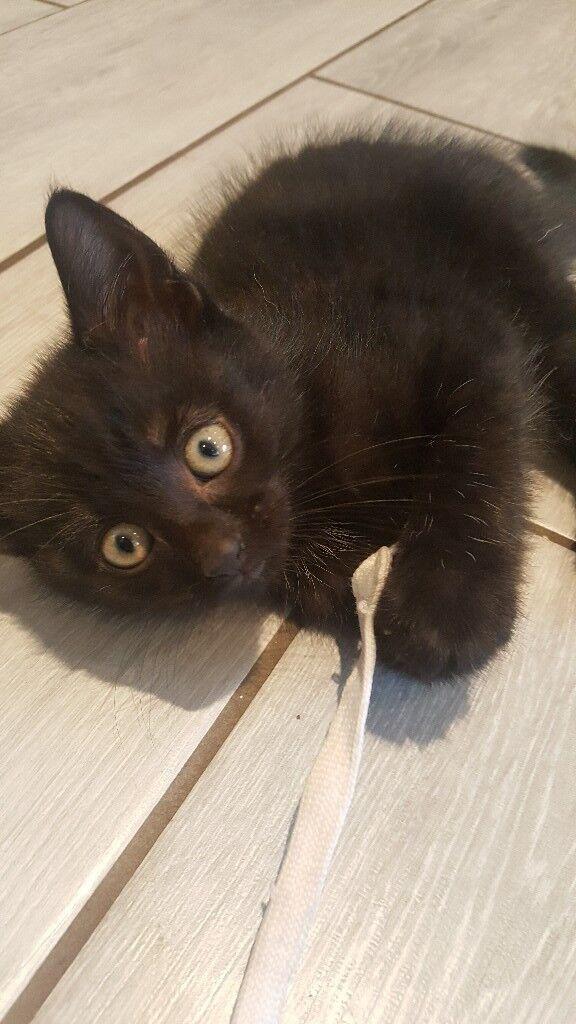 ** BEAUTIFUL BLACK KITTEN **