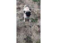 Mini Pug for sale