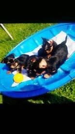 3 GIRS 2 BOYS yorkshire terrier
