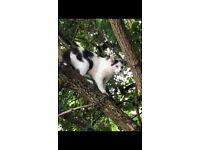 Male cat part Ragdoll