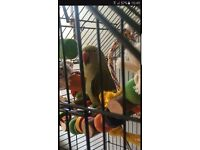 Indian ringneck for sale