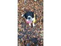 Springer Spaniel x Border Collie, Female, 11 months old, Vaccinated, chipped, w/ bed, toys, food...