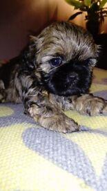 *SOLD* Shihtzu cross Lhasa Apso puppy