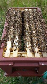 Bees, Bee NUCS, 6 Frame Nucs, Dundee