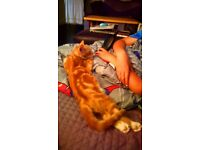 Male ginger tabby kitten